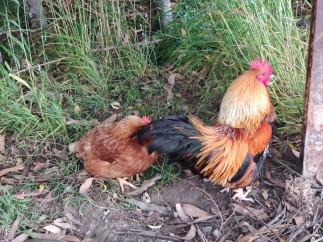 Hühner in Clifden